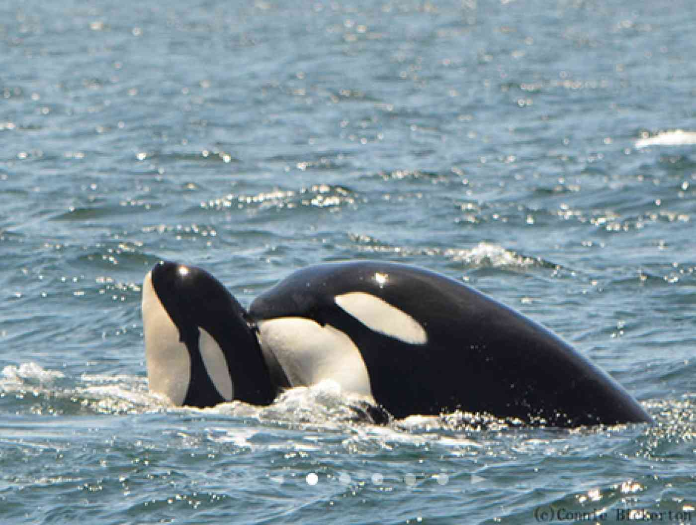 Resident Orca Pic