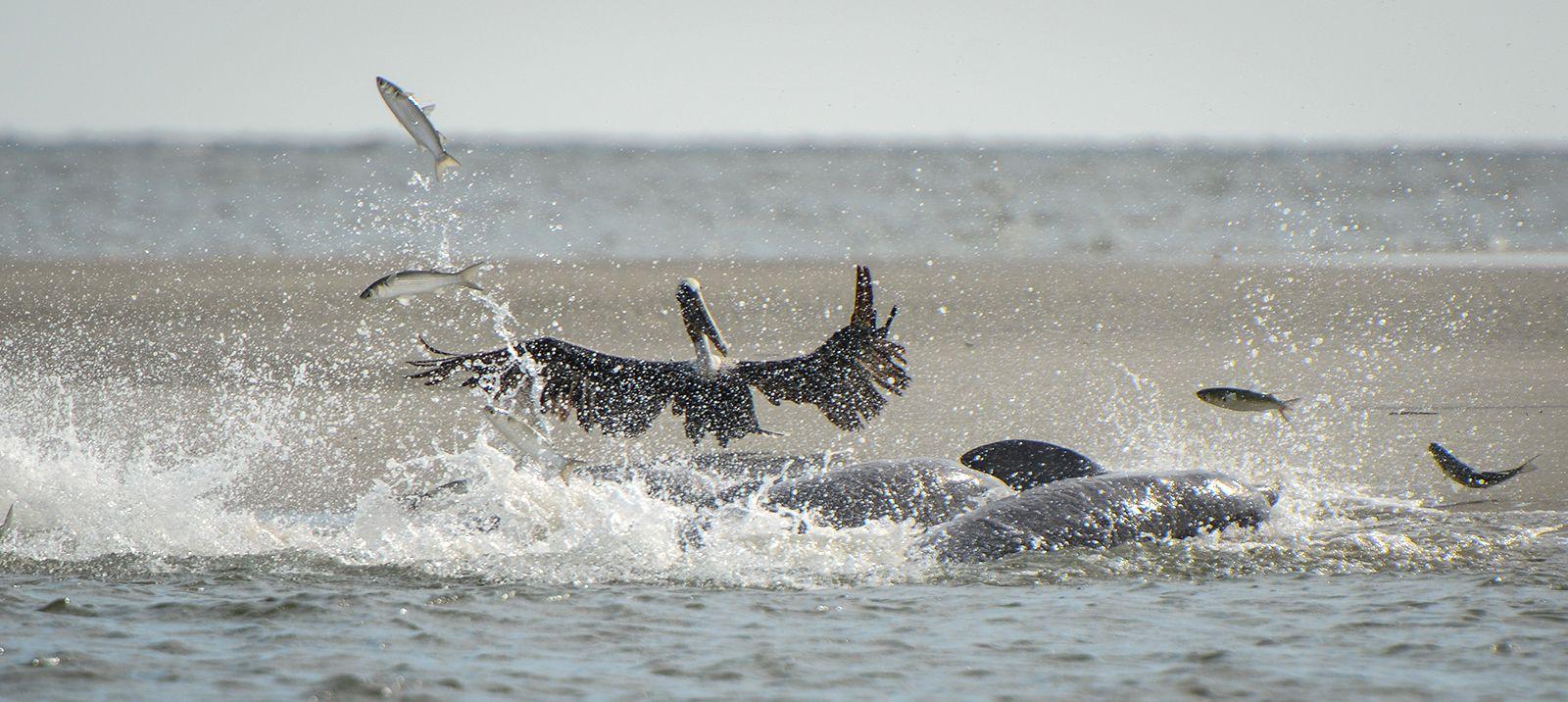 Wildlife town of kiawah island for Kiawah island fishing
