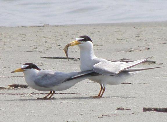 least-tern