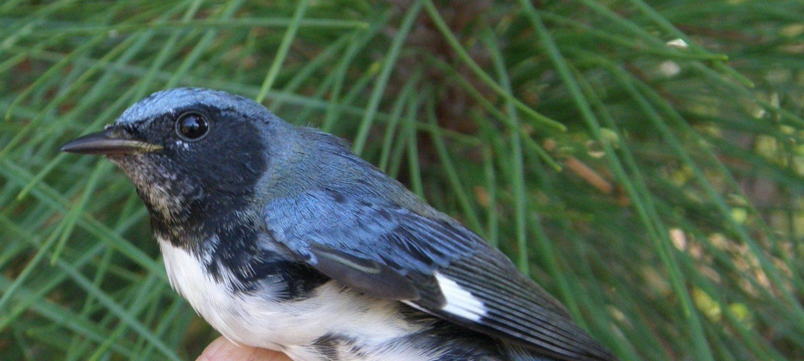 Black-throated-blue warbler