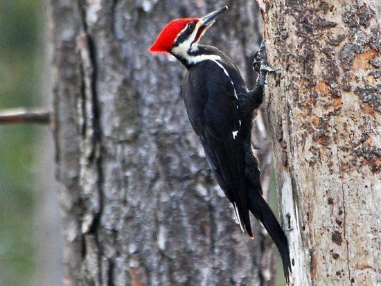 PB Woodpecker