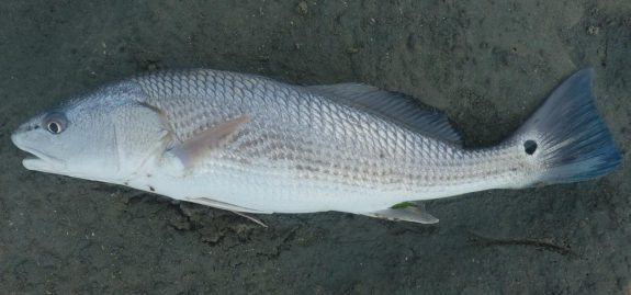 Red Drum (2)