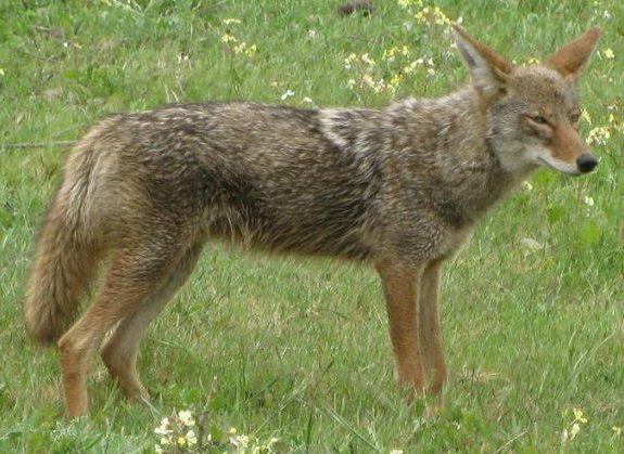 Coyote2008