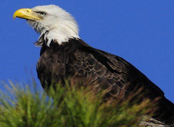 Bald Eagle - P. Cohen