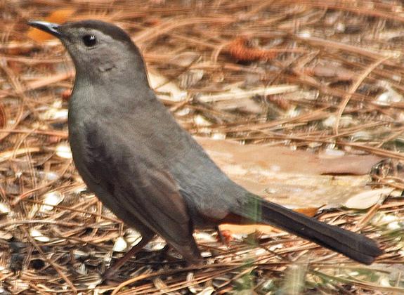 Catbird_roberts