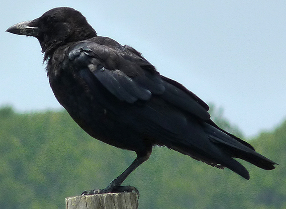 Crow2 (2)