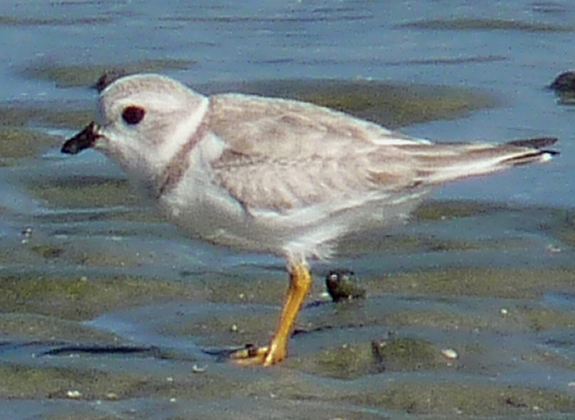 Piping plover close