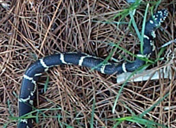Eastern King Snake_KICA