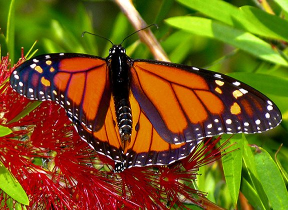 Monarch Butterfly_Bacon