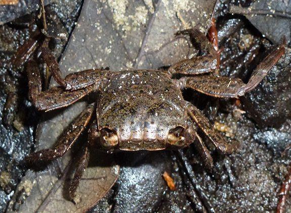 Wharf Crab