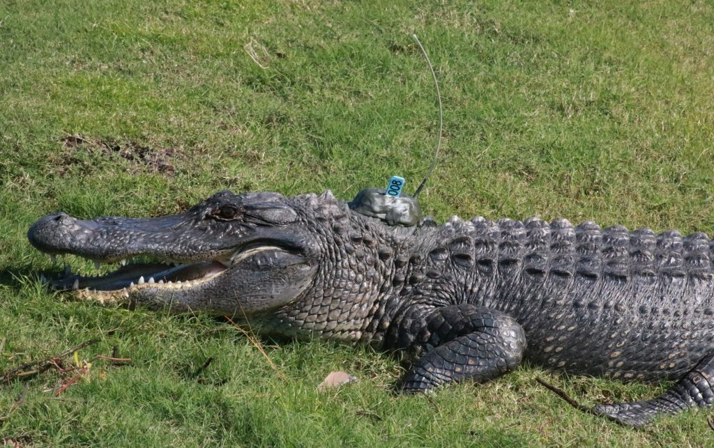 Alligator study supports convergent evolution of spatial ...