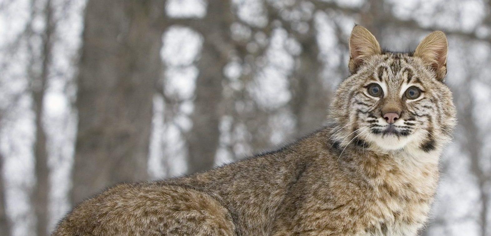 Bobcat in tree,telephoto shot