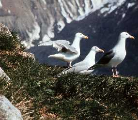 Glaucous-winged gulls nest in Glacier Bay. Federal legislation allows Hoonah Tlingits to harvest their eggs.(Courtesy National Park Service.)