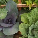 Cabbages from the KTOO garden