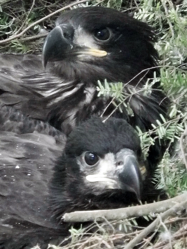 Raptor Center volunteer Jen Cedarleaf says the eaglet is doing well, spending its time with the other baby eagles.