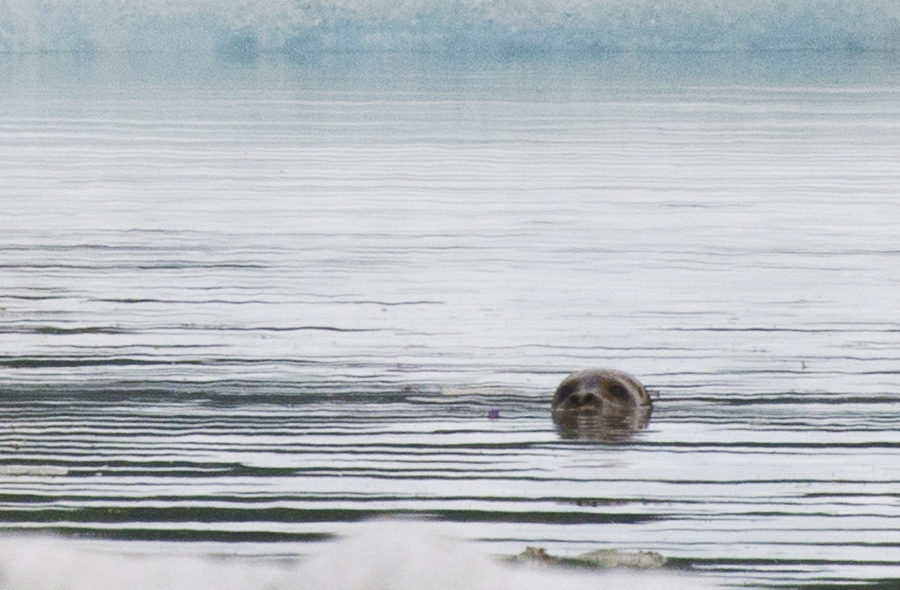 Gail Blundell with the Alaska Department of Fish & Game thinks it's likely a young harbor seal. (Photo by Heather Bryant/KTOO)