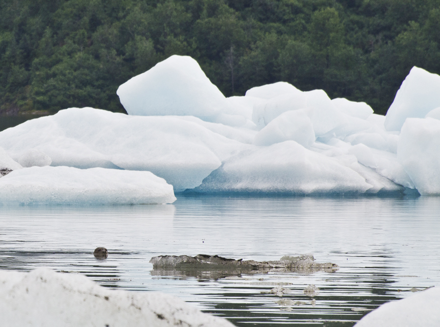 A seal slips between icebergs in Mendenhall Lake on Friday, July 6, 2012.