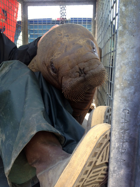Patak in Barrow after being rescued.