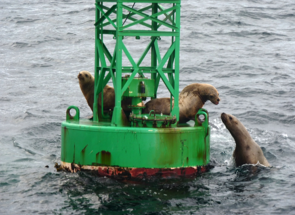 Sea lions touch noses as one clambers onto a buoy near feeding whales in Sitka Sound. Sea lions follow humpbacks, eating herring stunned or killed during feeding.