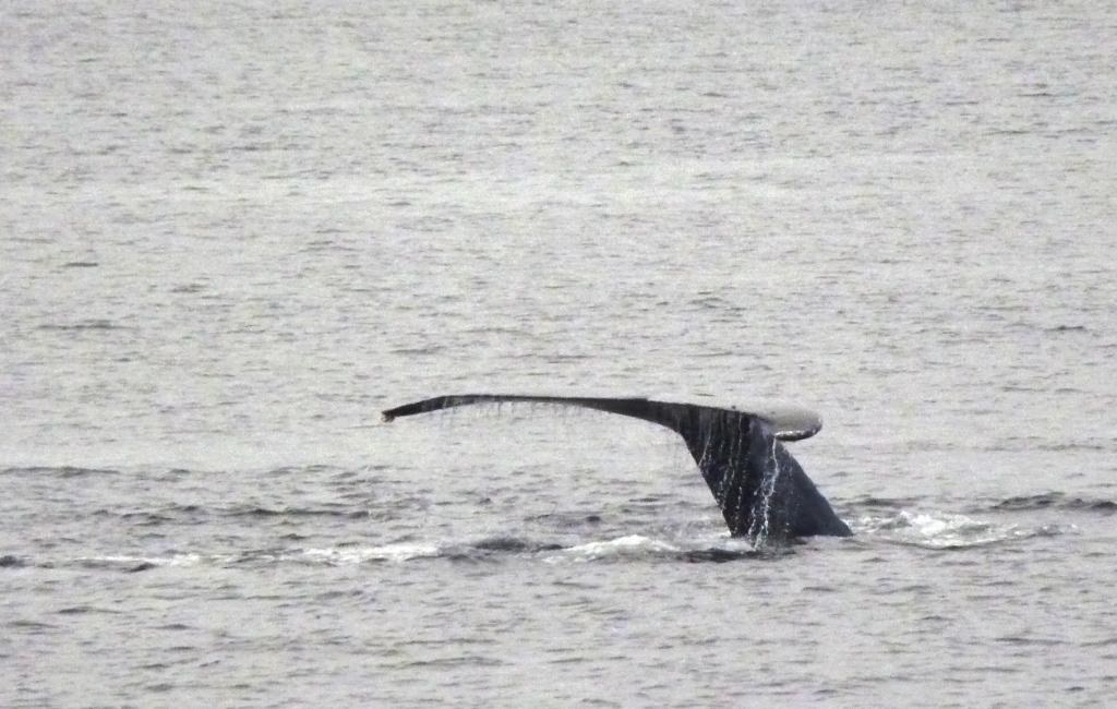 A humpback whale shows its tail as it dives for food in Sitka Sound.