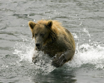 Brown bear splashing in a stream.