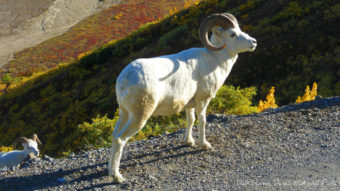 Dall sheep in Denali National Park. (Photo by blmiers2/Flickr Creative Commons)