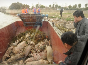 Dead pigs collected by sanitation workers from Shanghai's main waterway on Monday. Peter Parks/AFP/Getty Images