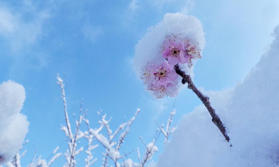 A snow-covered cherry blossoms at the Yuyuantan Park in Beijing, China. Li Xin /Xinhua /Landov