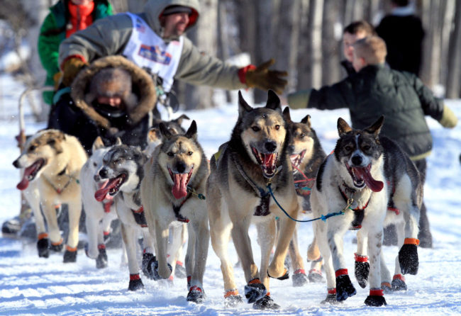Several female mushers in the Iditarod Trail Sled Dog Race are trying out new attire that allows them to skip bathroom stops. Here, a musher and his team pass fans at the ceremonial start of the race in Anchorage. Dan Joling/AP