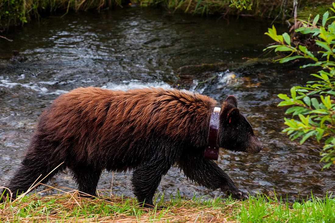 Bear 25 is a collared female frequently spotted near Mendenhall glacier.
