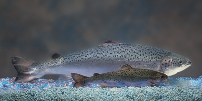 A genetically modified salmon seen next to a wild salmon. The fish are bio-engineered to grow twice as fast. (Photo courtesy Rep. Geran Tarr)