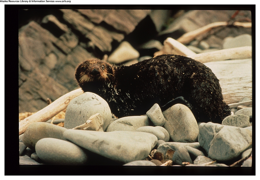 An otter covered with oil from the Exxon Valdez oil spill