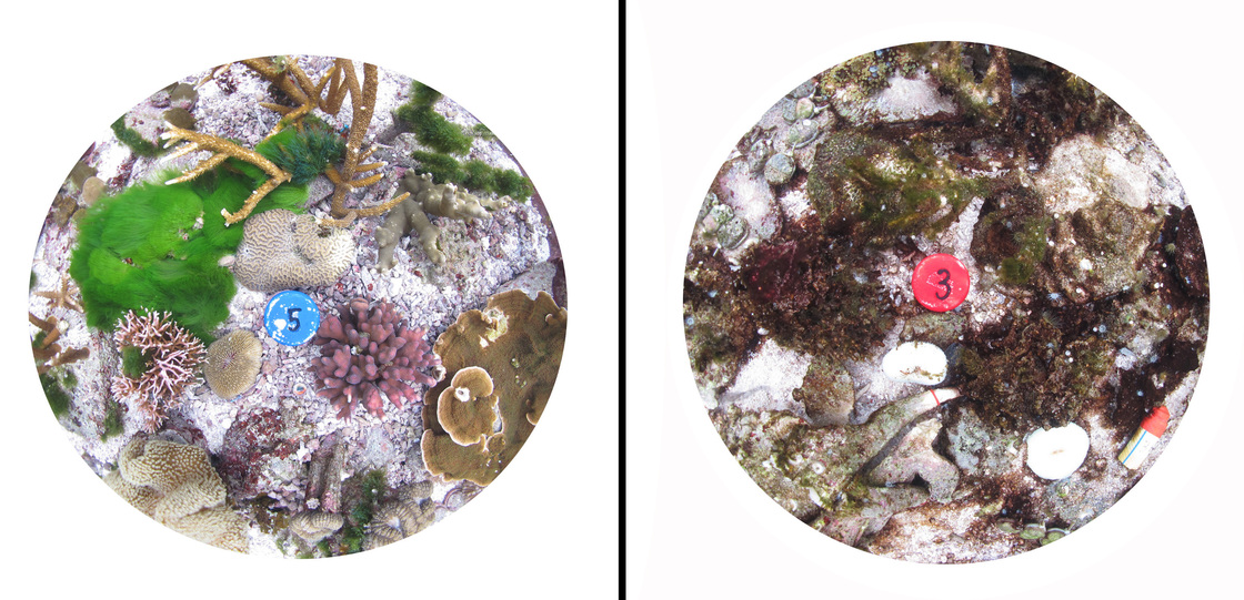 This composite image of pots used in the experiment shows how healthy coral (left) is dramatically affected by higher carbon dioxide levels and sea temperatures (right). Courtesy of Sophie Dove