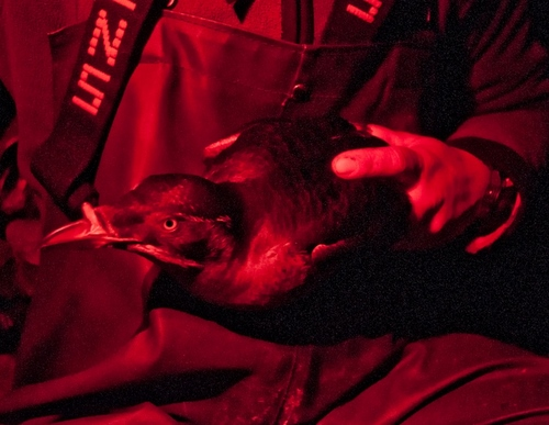 Alexis Will holds a Rhinoceros Auklet after attaching a small GPS device to its belly.