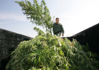 A sheriff officer sifts through marijuana in the back of a trailer which was confiscated from a field last Wednesday in Sanger, Calif. Gary Kazanjian/AP