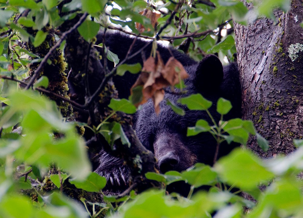 A black bear in a tree in Mendenhall Valley last summer.