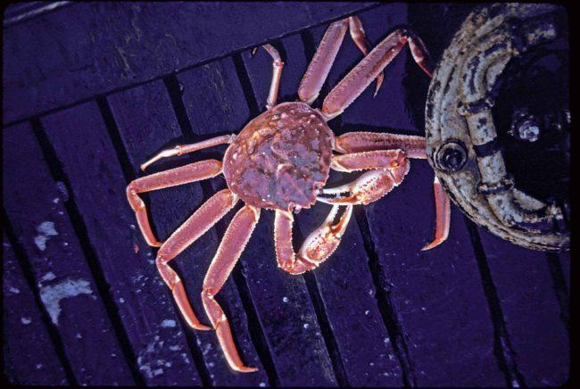 Tanner or Bairdi Crab