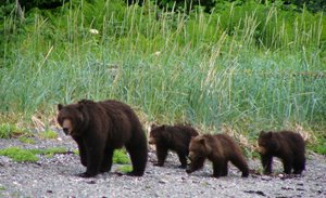 This bear family was seen in May 2013 foraging in the Auke recreation area. Again wildlife officials are asking people not to stop to watch the bears.