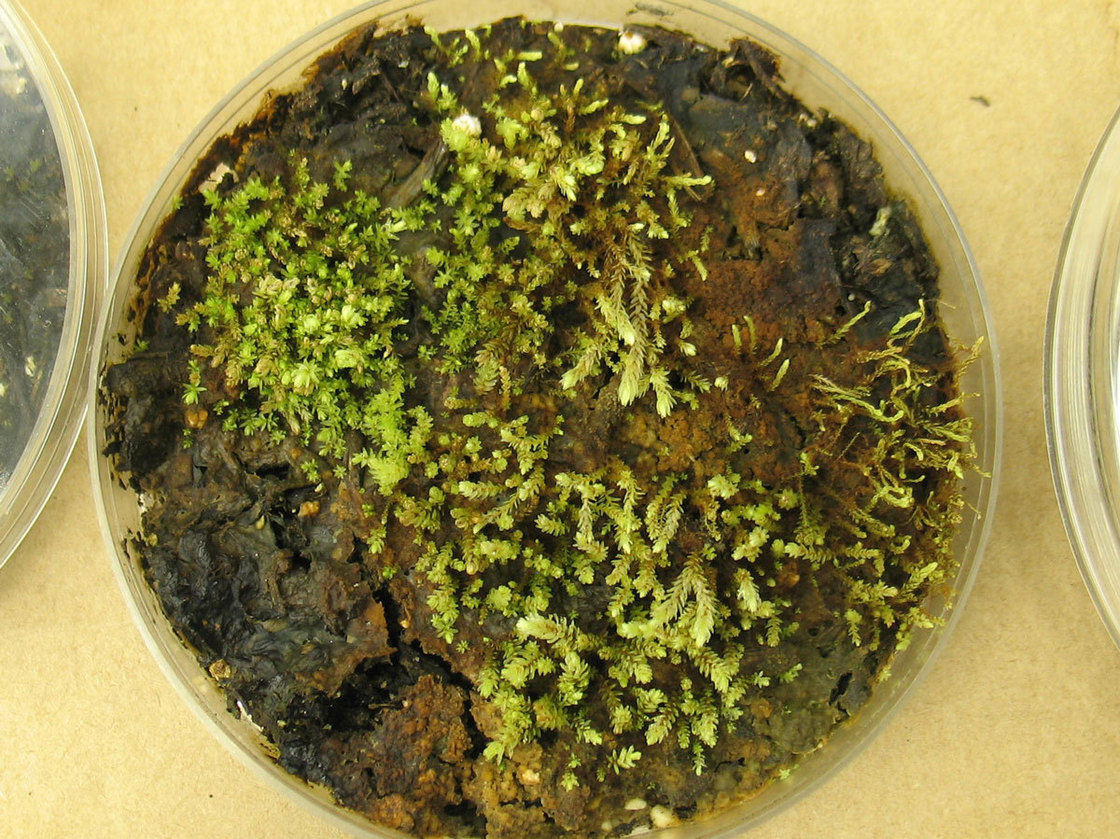 In the lab, scientists grew cultures of some of the plants found beneath the receding Teardrop Glacier. These are Aulacomnium turgidum, a relative of moss. Courtesy of Catherine La Farge
