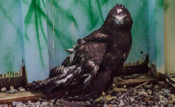 Mona Lisa is a dark brown red tailed hawk with a broken wing that never healed right.