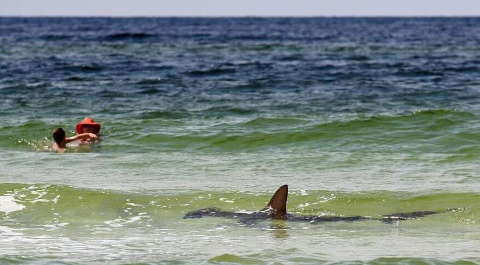 Cue the Jaws theme: A hammerhead shark in the shallow Gulf of Mexico waters of Seagrove Beach, Fla., on Monday. Russell Lewis/NPR