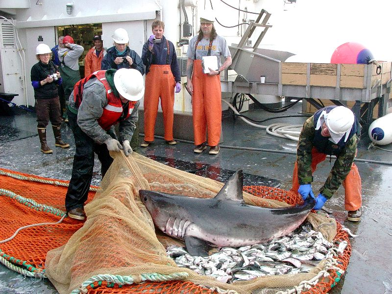 This salmon shark was released after being freed from the trawl net