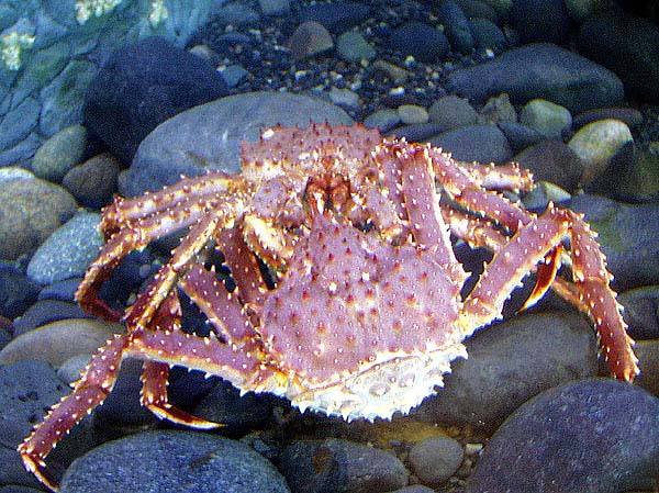 "A ""grasping pair"" of male and female red king crab."