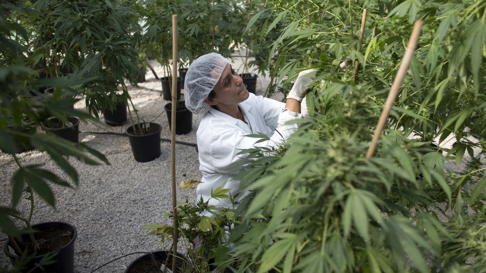 A new free market for medical marijuana in Canada will replace small growers with large-scale indoor farms, such as this one in Israel, seen in a photo from last year. Menahem Kahana/AFP/Getty Images
