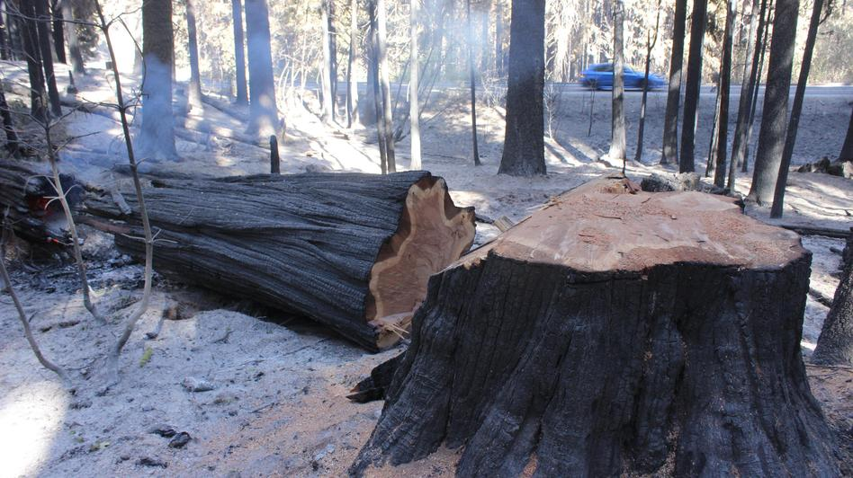 Rim fire is third largest wildfire in california 39 s history for Forest floor definition