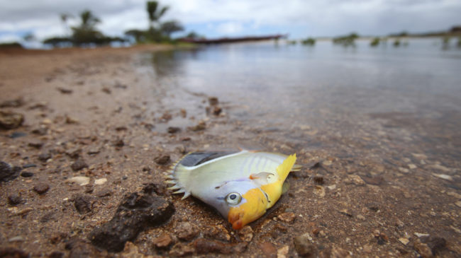 One of the fish thought to have died because of the molasses spill off Honolulu. Hugh Gentry /Reuters/Landov
