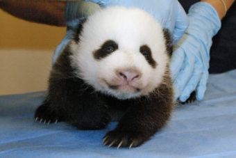 The panda cub now weighs 5 pounds. This photo was taken Tuesday. Courtney Janney/Smithsonian's National Zoo