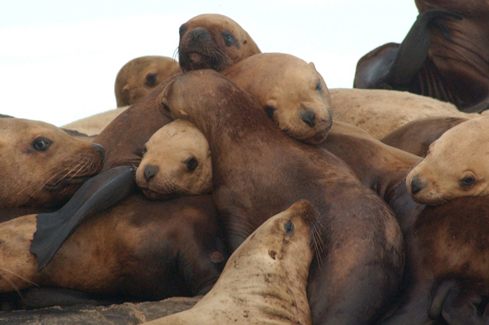 Group of eastern Steller sea lions, taken during research conducted by Alaska Department of Fish and Game in 2007. (Photo by Jamie King/ADFG)