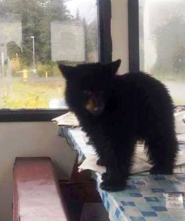 Smokey, an orphaned black bear cub, has gone viral on Facebook. Sitka's Fortress of the Bear has offered to house the animal. (Photo courtesy Angels for Animals Network Facebook page.)
