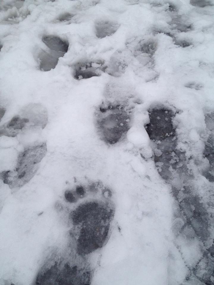 Bear tracks in the snow on Starr Hill in downtown Juneau in December. Photo courtesy Mary Feldt.